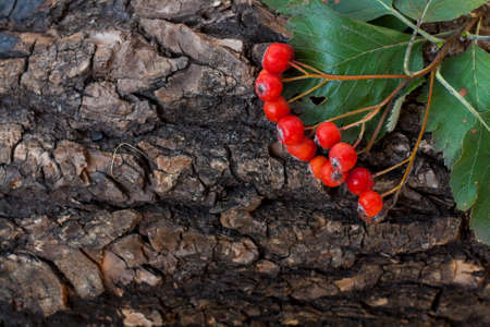 sorbus: Bunch of red ashberry, sorbus on the tree bark, close-up