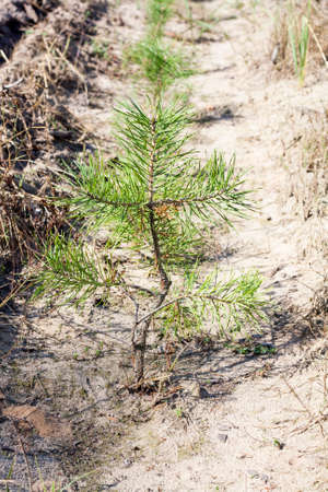 needle tip: Young pine tree close-up. Pine needles can be seen in detail. The background is blurred