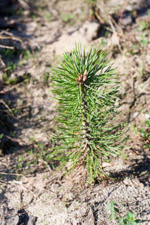 young tree: Young pine tree close-up. Pine needles can be seen in detail. The background is blurred