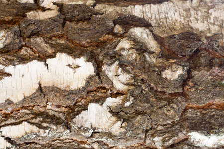 birch tree: Texture of old birch tree bark with green moss Stock Photo