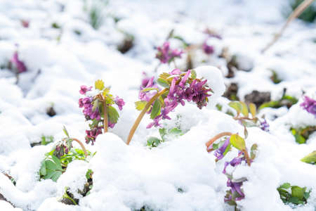 corydalis: Spring violet hollowroot (corydalis) flower covered with snow Stock Photo