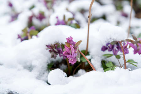 treacherous: Spring violet hollowroot (corydalis) flower covered with snow Stock Photo