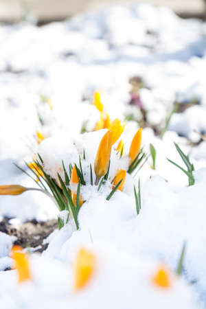 treacherous: Spring yellow crocuses flower covered with snow