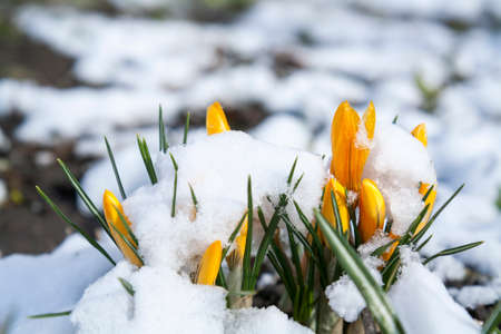 covered in snow: Spring yellow crocuses flower covered with snow