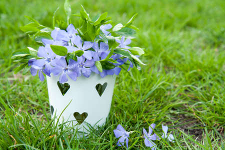 blue green background: Bucket with beautiful blue periwinkle with water drops and green shoots green grass background Stock Photo