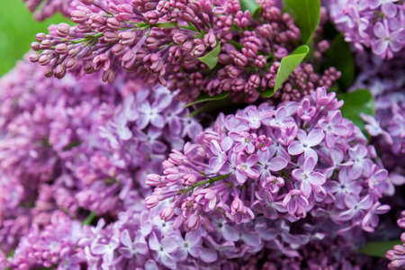 syringa: Branches of flowering purple lilac syringa on a green lawn. Beautiful spring floral background.