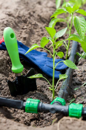 Young sprouts pepper and garden tools with drip irrigation against vegetable garden household background. Ecology concept