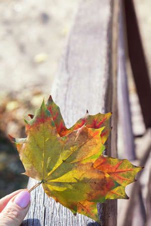 Hand holding yellow and red maple leaf on autumn sunny blurred bokeh background Stock Photo