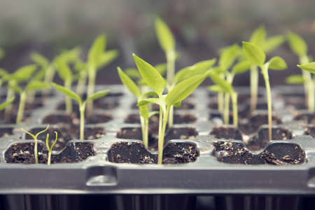 transplants: Pepper seedling transplants growing in a plastic tray. Sprouting pepper seedlings in propagator trays. Shallow depth of field. Coloring and processing photo. Stock Photo