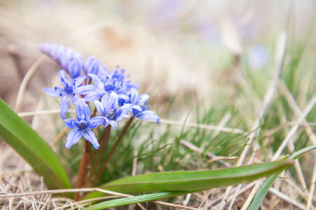 Beautiful spring flowers nature background. Wild growing blue snowdrop, Scilla bifolia, blue early spring flower. Coloring photo with soft focus. Copy space. Stock Photo