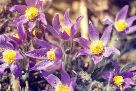 Beautiful spring violet flowers background. Eastern pasqueflower, prairie crocus, cutleaf anemone.  Shallow depth of field. Toned. Copy space. Stock Photo