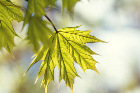 arbol de pascua: Spring background art young maple leaves. Beautiful young maple leaves in backlight on blue sky background at springtime. Sunny day. Shallow depth of field. Foto de archivo