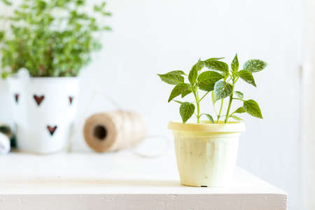 Spring gardening light concept. Pepper seedling in pot on a white table, hank of rope, gardening tools and white wall background.