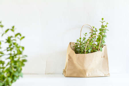 Spring gardening light concept. Fresh mint in a paper bag on a white table. White wall background.