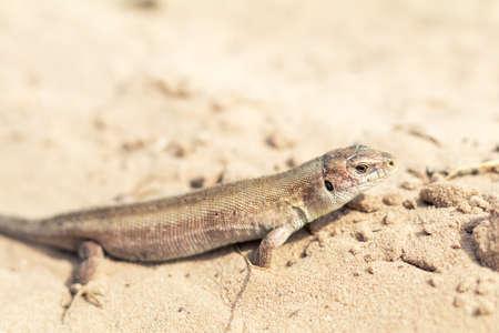 lizard in field: Yellow lizard in nature. Shallow depth of field. Lacerta agilis.