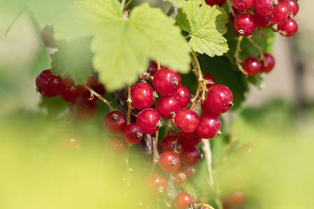 Bush of red currant  in a garden. Shallow depth of field. Sunshine. Stock Photo