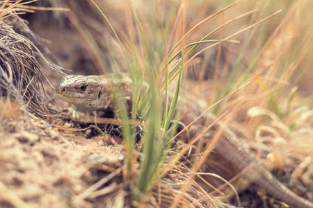 lacerta: Yellow lizard in nature. Shallow depth of field. Lacerta agilis.