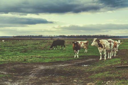Cows grazing on autumn pasture at sunset. Toned Stock Photo