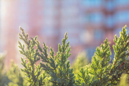 Thuja foliage in the sunlight.  Multistoried building is out of focus. Urban background. Shallow depth of field, bokeh Zdjęcie Seryjne