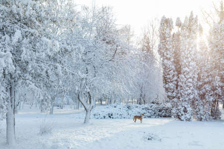 First snow in the city park with trees under fresh snow at sunrise. Sunny day in the winter city park. Red dog walking runs around the park. Stock Photo - 93195699