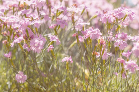 Gentle blooming pink cloves in the field on a sunny day in the summer time. Beautiful summer background. Stock Photo
