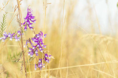 Dried yellow grass and gentle blue flowers in the field on a sunny day. Shallow depth of field Stock Photo - 93130842