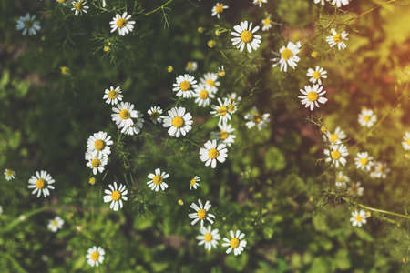 Blooming tender daisies in the summer time in a sunny weather. Beautiful summer background with copy spice. Stock Photo - 93130844