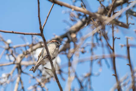 Sparrows on the branch. Sunny day. Blue sky. Beautiful early spring day. Stock Photo