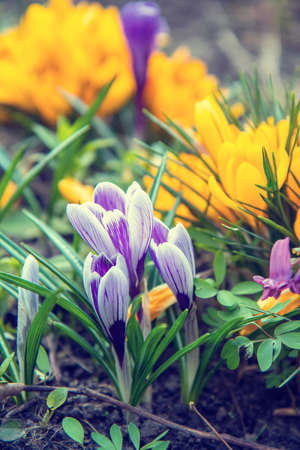 Beautiful spring violet white and yellow flowers crocuses in sunny spring forest under sunbeams. Easter, valentine, mothers day picture with bokeh background. Copy space, shallow depth of the field. Stock Photo - 95673428
