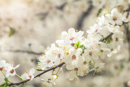 Beautiful nature scene with blooming tree and sun flare. Sunny day. Spring flowers. Abstract blurred background. Shallow depth of field. Stock Photo - 95684792