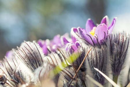 Eastern cutleaf anemone, pasque flowers, prairie crocuses whith drops of dew. Beautiful spring  violet flowers. Shallow depth of field. Copy space. Stock Photo
