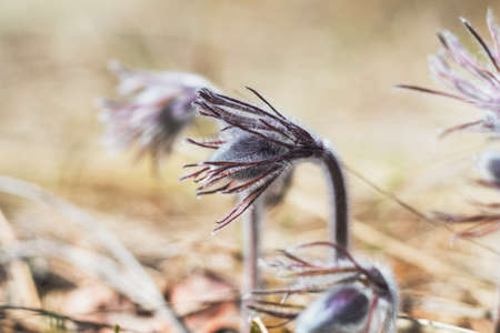 Close up beautiful spring flower buds eastern pasqueflower, prairie crocus, cutleaf anemone. Shallow depth of field. Toned. Copy space.