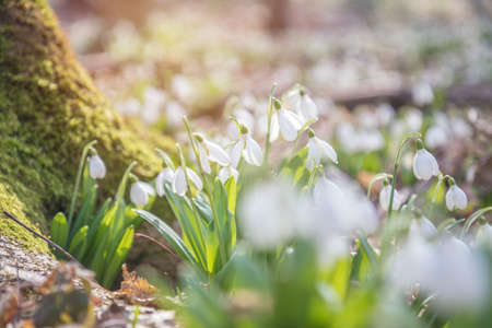White tender snowdrops in the spring forest on a sunny day. Beautiful spring background with copy space. Processing photo with soft focus