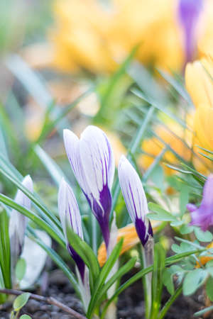 Sunny spring forest under sunbeams with beautiful spring violet white and yellow flowers crocuses. Easter, valentine, mothers day picture with bokeh background. Copy space, shallow depth of the field.