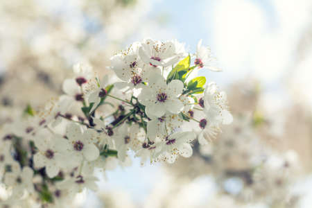 Spring background art with white cherry blossom. Beautiful nature scene with blooming tree and sun flare.   Shallow depth of field.