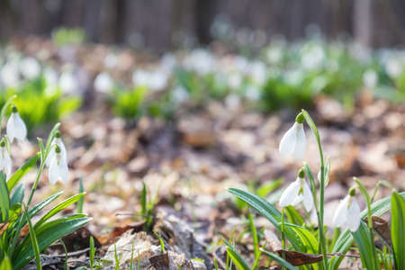 White tender snowdrops in the spring forest on sunrise. Cute beautiful spring background with copy space. Processing photo with soft focus. Stock Photo - 95902791