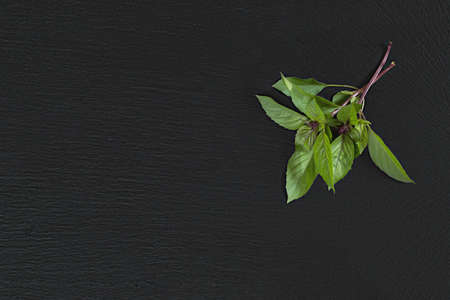 Fresh raw green two branch of basil on black stone surface. Top view, copy space. Stock Photo - 96628171