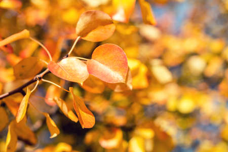 Branch pear with red yellow foliage, autumn leaves on blue sky background at fall time. Coloring and processing photo. Toned. Shallow depth of field Stock Photo - 96609596