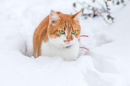 Cut red-white cat playing on white snow surface. Beautiful winter frozen day.