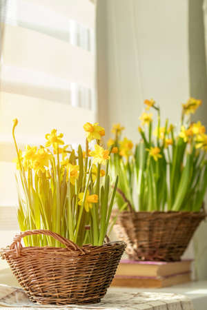 Morning sunlight on the daffodils. Bloom yellow daffodils on the windowsill in baskets, close up. Shallow depth of field. Toned and processing photo with soft focus.