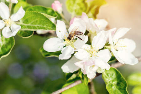 Bee collects nectar and flies. Apple tree blooming on the springtime. Sunny day.  Close up, shallow depth of field.