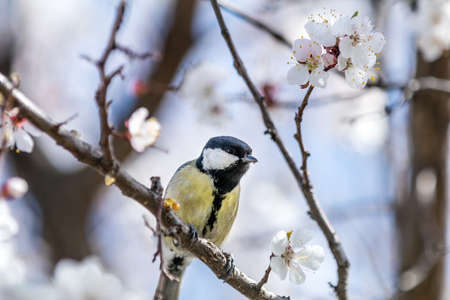 Great tit (Parus major) on a white apricot tree blossom branch in the city park on spring sunny day. Beautiful nature background. Toned photo, close up, shallow depth of the field. Stock Photo - 100287626