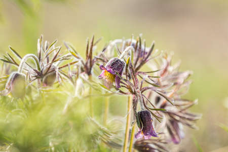 Eastern pasqueflower, prairie crocus, cutleaf anemone with water drops in the spring sunny forest. Beautiful nature toned background, close up, shallow depth of the field.