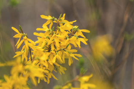 Yellow forsythia blossom in the city park on spring sunny day. Beautiful nature toned background, close up, shallow depth of the field.