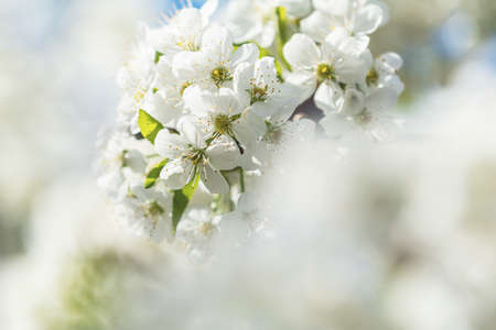 Spring background art with white cherry blossom. Beautiful nature scene with blooming tree and sun flare. Abstract blurred background. Shallow depth of field.