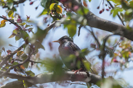 Common starling (Sturnus vulgaris) on a pink apple tree blossom branch in the city park on spring sunny day. Beautiful nature background. Toned photo, close up, shallow depth of the field. Stock Photo