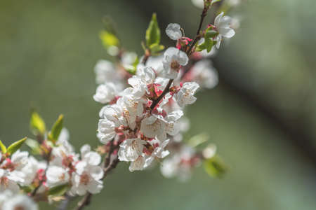 Spring background art with white apricot blossom. Beautiful nature scene with blooming tree and sun flare. Abstract blurred background. Shallow depth of field. Stock Photo - 100618345