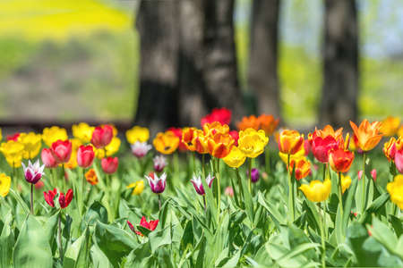 Beautiful colorful tulips with green leaf in the garden with blurred many flower as background of colorful blossom flower in the park. Stock Photo - 100550358