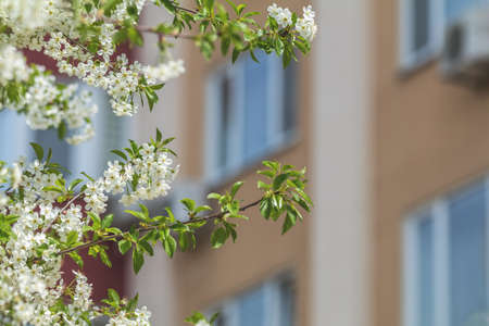 Cherry branches with young green leafs and blossom against the city building background