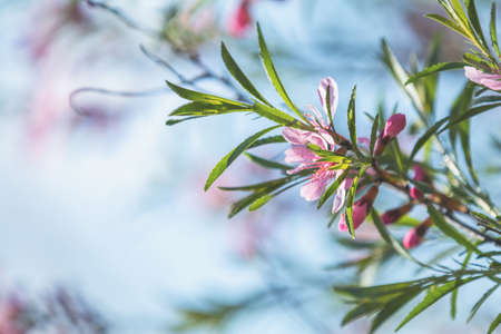 Spring background art with pink almond (prunus tenella) blossom. Beautiful nature scene with blooming tree and sun flare. Abstract blurred background. Shallow depth of field.